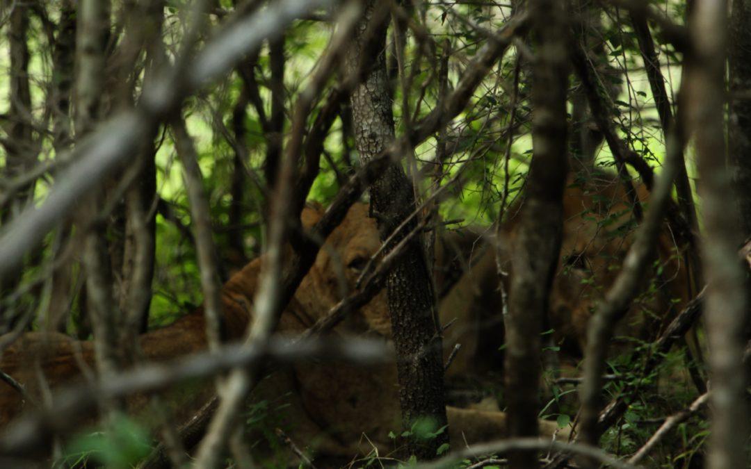 Dzikie zwierzęta wokół nas…czyli jak żyć z lwami pod domem? Część 3.