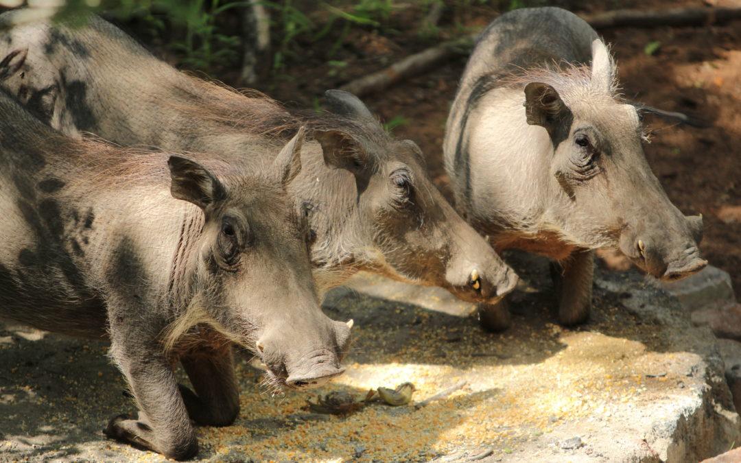 Guziec…taka afrykańska świnia